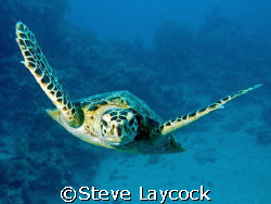 Hawksbill turtle, foolowing the camera by Steve Laycock 